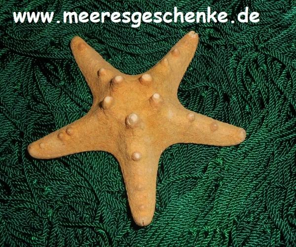 Noppen-Seestern 10-15 cm